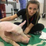 Свинья в клинике